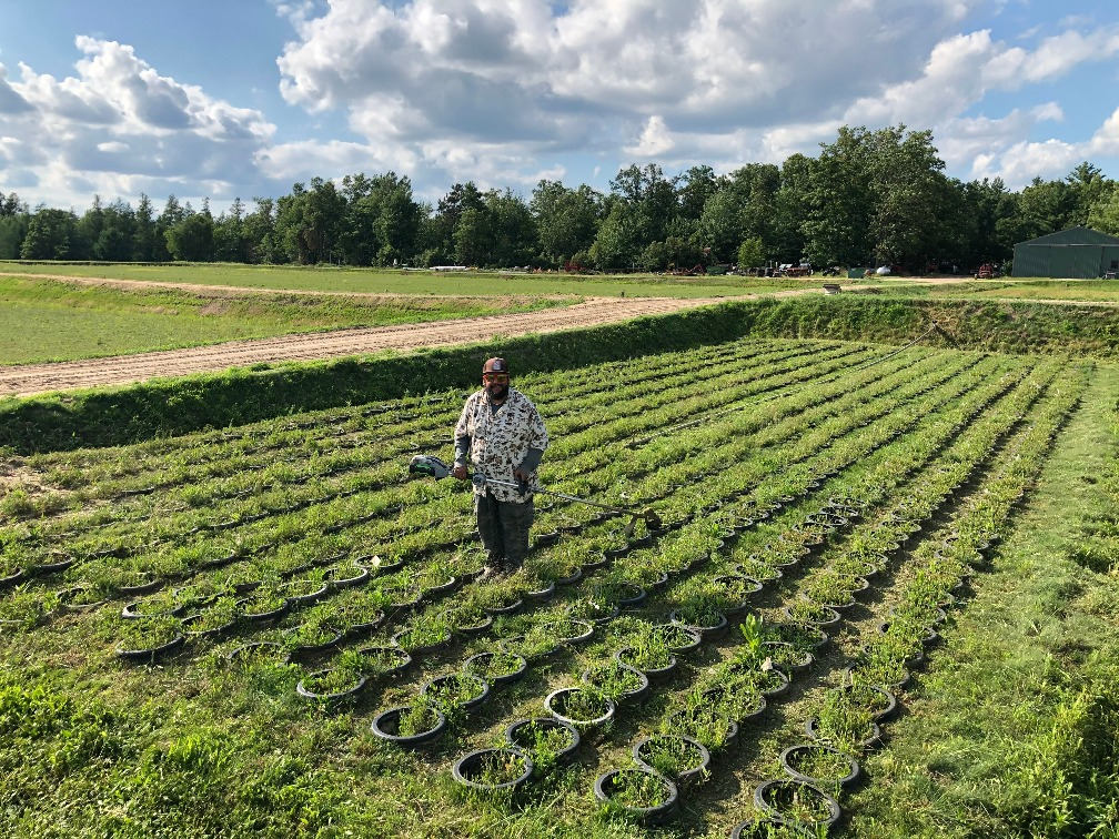 Dr. Juan Zalapa completing some maintenance in a high density cranberry nursery at Saddle Mound Cranberries